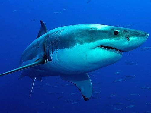 Изучение зубов акул поможет понять, возможна ли регенерация зубов у человека