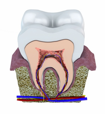 Альвеола в стоматологии