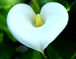 Комнатные растения с самыми красивыми цветами: каллы, эустома, камелия