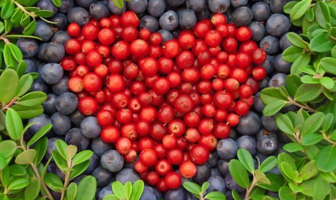 Экстракты некоторых ягод активно борются с бактериями ротовой полости