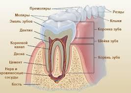 Что такое дентин