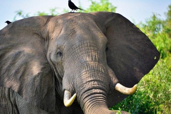 В Индии провели чистку каналов в бивне 50-летнего слона