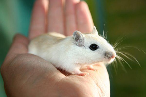 Препарат, предотвращающий отторжение органов при трансплантации, способен замедлять развитие пародонтита у мышей